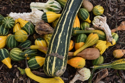 Squashes at Novick Family Urban Farm